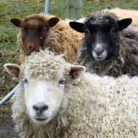 Excellent sheep featured