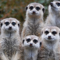 Featured-Meerkats-Auckland-Zoo-group-8a